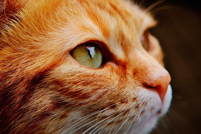 mascota-nueva-zelanda-gato-comoserunkiwi