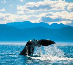 ballenas-kaikoura-comoserunkiwi